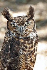 YES ??? (Picture Taker 2) Tags: bird nature wildlife owl predator upclose birdsofprey worldbirdsanctuary featheryfriday gigglegram