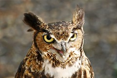 WHO ??? (Picture Taker 2) Tags: bird nature closeup owl curious predator upclose worldbirdsanctuary featheryfriday gigglegram