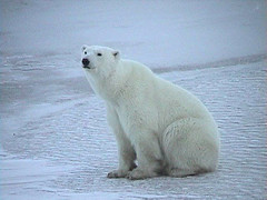 polar bear sitting (Marlis1) Tags: winter canada polarbear churchill 100vistas abigfave