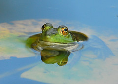 Frog Day Afternoon, Pt. 3...Surfacing (ozoni11) Tags: animal animals nikon outdoor maryland amphibian frog frogs d200 amphibians interestingness263 i500 animaladdiction nikonstunninggallery specanimal animalkingdomelite abigfave fcfrgstds qemdfinchadminsfavforaugust bestnaturetnc07