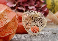 Physalis skeleton (a kind of sparkle) Tags: autumn orange quality 100v10f physalis chineselantern gtaggroup goddaym1 250v10f