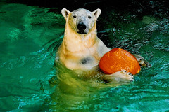 It's MINE and you can't have it! (ucumari) Tags: bear film nature pumpkin mammal nikon north 2006 polarbear carolina polar nczoo asheboro nikonn65 northcarolinazoo specanimal animalkingdomelite ucumariphotography