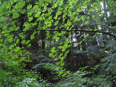 Diaphanous Ceiling (MaureenShaughnessy) Tags: trees summer 15fav green texture forest woodland maple pattern britishcolumbia branches ceiling northvancouver treetrunks capilanoriver diaphanous vinemaple forested seasonalrhythmssummer warmseason