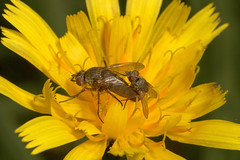 """Mating Flies • <a style=""""font-size:0.8em;"""" href=""""http://www.flickr.com/photos/57024565@N00/248957099/"""" target=""""_blank"""">View on Flickr</a>"""