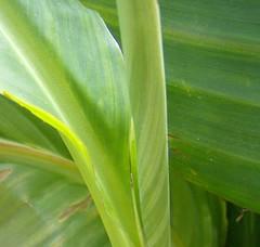 A fresh leaf unrolling... (monika & manfred) Tags: vienna flowers autumn plants austria urbannature mm utatathursdaywalk23