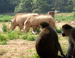 White Rhinos and Monkeys (The Muffin  Man) Tags: africa white bird birds monkey fuji wildlife soil clay finepix rhino vegetation monkeys uganda kampala f11 monkies jesters whiterhino fujifinepixf11 aplusphoto lpwild jesterschallengegroup