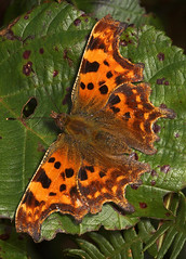 "Comma Butterfly (Polygonia c-album)(8) • <a style=""font-size:0.8em;"" href=""http://www.flickr.com/photos/57024565@N00/251210622/"" target=""_blank"">View on Flickr</a>"