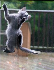 Spidey Cat (Boered) Tags: door cat interestingness kitten spiderman screen climbing jinx top20cats cc400 cc500 abigfave impressedbeauty