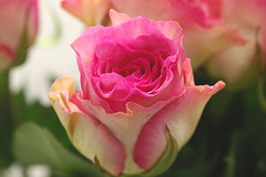 rose maribu