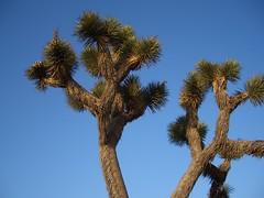 Joshua Treetops (runrig97) Tags: joshuatree mojavedesert 395