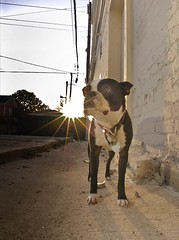 RAW Dogs 2  1576.png (blogjam_dot_org) Tags: dog bostonterrier nikon houston montrose hawthorne dunlavy peabo 77006 misterpeabody