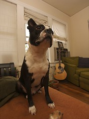 RAW Dogs 4  1917.png (blogjam_dot_org) Tags: dog bostonterrier houston montrose hawthorne dunlavy peabo 77006 misterpeabody