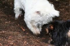 Excavation Team (Molly Simoneau) Tags: dog cute yorkie puppy hole little alba critter westie cutie terrier westhighlandwhiteterrier westy yorkshireterrier dig doggie picco flickritis westhighlandwhite thebiggestgroup