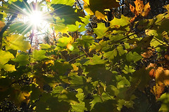 Burst Leaves (twistedbydesign) Tags: sun green leaves lens nikon d70s twistedbydesign patrick patryk adamczyk flare burst nikonstunninggallery