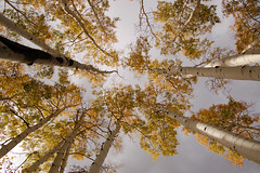 "towering aspens (Matt ""Linus"" Ottosen) Tags: autumn arizona aspen hartprairie interestingness205 i500"