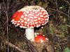 Oregon Aminitas (glacierman) Tags: mushroom oregon forest fungi muscaria aminita