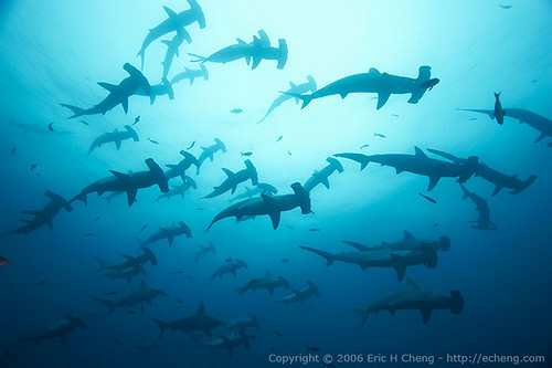 Scalloped Hammerhead Sharks off the Galapagos Islands