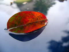 Fall Leaf (springday) Tags: blue shadow red orange reflection green fall water rain yellow canon leaf jeep spots hood folha springday serenissima dayspring 10faves top20autumn top20autumn20