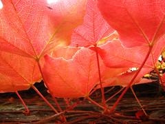 autumn (ion-bogdan dumitrescu) Tags: autumn red leaves ilovenature leaf ivy bitzi ibdp findgetty ibdpro wwwibdpro ionbogdandumitrescuphotography