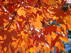 Last of the Fall leaves, I'm afraid.... (bobtravis) Tags: bravo dsch1 gtaggroup goddaym1 utatathursdaywalk utatathursdaywalk28