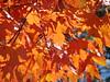 Last of the Fall leaves, I'm afraid.... (bobtravis) Tags: bravo dsch1 gtaggroup goddaym1 utatathursdaywalk utatathursdaywalk28