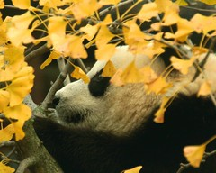 Mellow yellow (somesai) Tags: animal animals smithsonian panda endangered giantpanda pandas taishan butterstick