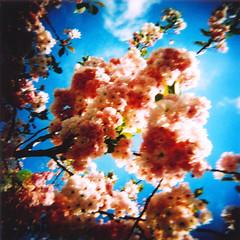 cherry tree ( chi chi ) Tags: new flowers newzealand christchurch tree 120 film cherry holga xpro blossoms slide zealand agfa e6 agfarsxii200
