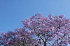 tn_DSC_0605 (anthonyngo) Tags: blue sky jacaranda
