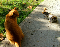 Back Off Cat!!! (shesnuckinfuts) Tags: nature animal cat backyard squirrel wildlife faceoff furryfriday animalplanet pp kentwa sciuruscarolinensis easterngraysquirrel october2006 animaladdiction neighborscat shesnuckinfuts