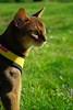 Last summer (DizzieMizzieLizzie) Tags: abyssinian aby beautiful wonderful lizzie dizziemizzielizzie portrait cat chats feline gato gatto katt katze katzen kot meow mirrorless pisica sony