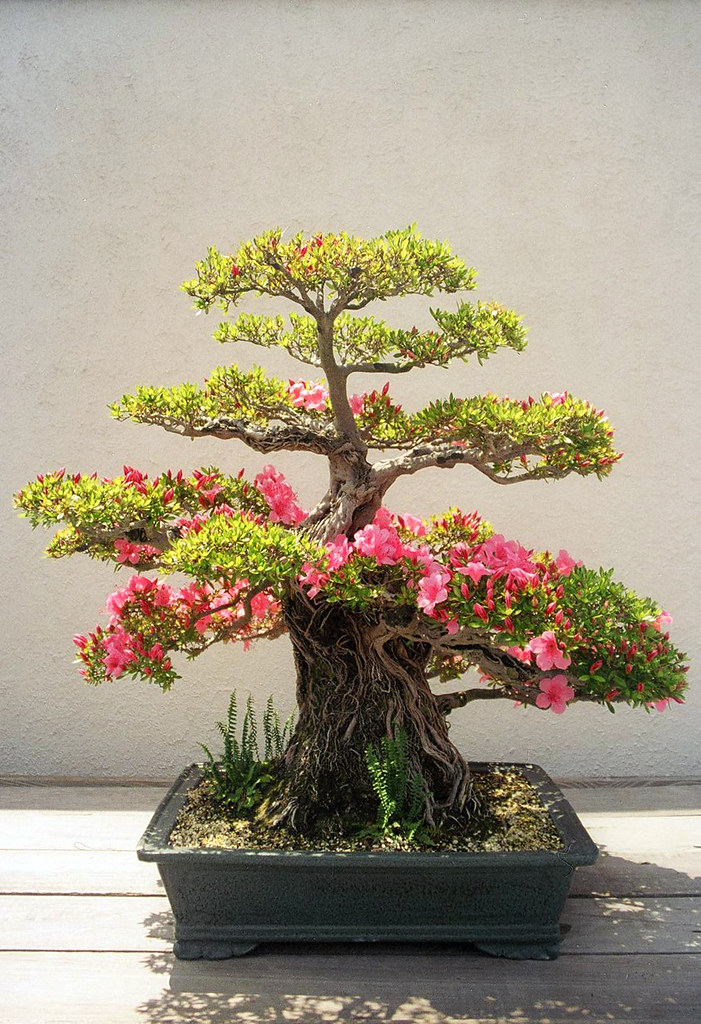 An old Azalea, probably a Satsuki type, Chozan cultivar based on the color and texture of the bark, done in the root over rock style.