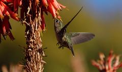 (Andrés García Olivares) Tags: colibries naturaleza aves pájaros