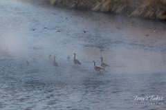 Ducks and geese in the mist
