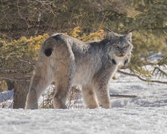 Male Canada Lynx (wmckenziephotography) Tags: canadalynx wildlife manitoba wildcat nature lynx
