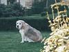 doggo (Stijn Wouters) Tags: dog beagle belgium panasonic g80 lumix g85