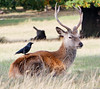 A Blackbird perching on a Stag (_chloechappell) Tags: blackbird bird birdphotography photograph picture photo stag deer animals wild wildanimals animal moment capture richmond richmondpark park london natural nature natur canon canoncamera canon700d closeup colourful colours green brown sharp fur autumn colour texture flickr style