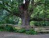 Chêne (bd168) Tags: arbre tree oak chêne été clôture woodfence cellphonephoto