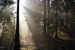 Dans la forêt profonde (Excalibur67) Tags: nikon d750 sigma globalvision 24105f4dgoshsma forest foréts nature vosgesdunord arbres trees lumière landscape paysage