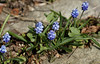 Traubenhyazinthe / grape hyazinth (Muscari) (HEN-Magonza) Tags: botanischergartenmainz mainzbotanicalgardens deutschland germany rheinlandpfalz rhinelandpalatinate frühling spring flora traubenhyazinthe hyazinthe grapehyazint muscari