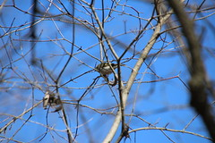 Golden-Crowned Kinglet on a Spring Day at Curtis Park (Sunday March 25, 2018 - Saline, Michigan) (cseeman) Tags: saline michigan curtispark park spring curtispark03252018 nature wildlife birds trees kinglet goldencrownedkinglet