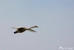 Jeune Cygne (jean-daniel david) Tags: oiseau oiseaudeau cygne vol volatile nature yverdonlesbains ciel