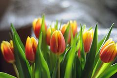 dutch tulips (Frau Koriander) Tags: nikond300s nikkore50mmƒ18 50mm 5018 freshflowers flowers flower blumenstraus schnittblumen frischeblumen spring frühling dutchtulips dutch tulip tulips tulpe tulpen light lighting orangegelb orangegelbetulpen yellow orange dof bokeh depthoffield blossoms blossom bloom blooming flora holländisch holländischetulpen tulpenstraus