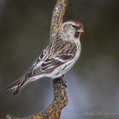 Common Redpoll (Turk Images) Tags: aspenparkland carduelisflammea commonredpoll isletlake alberta birds core finches fringillidae winter