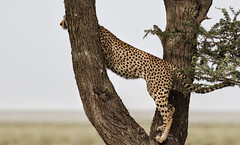 Not Only Lions ... (AnyMotion) Tags: cheetah gepard acinonyxjubatus ontree aufdembaum cat katze bokeh 2018 anymotion ndutu ngorongoroconservationarea tanzania tansania africa afrika travel reisen animal animals tiere nature natur wildlife 7d2 canoneos7dmarkii ngc npc