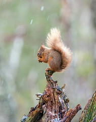Red Squirrel (Chas Moonie-Wild Photography) Tags: red squirrel winter scotland pine caledonian