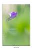 IMGP7734 (Francinen89) Tags: violette fleur flower sauvage wild macro nature green printemps spring bokeh