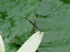 Coenagrionidae sp. (dhobern) Tags: 2018 china march xtbg xishuangbanna yunnan odonata coenagrionidae