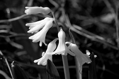 Black and dwhite (herman hengelo) Tags: hyacint garden hengelo thenetherlands macro hyacinthusorientalis