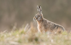 Brown Hare (Wouter's Wildlife Photography) Tags: brownhare hare lepuseuropaeus mammal animal nature naturephotography wildlife wildlifephotography billund