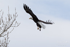 Female Bald Eagle stretches her wings - 21 of 30